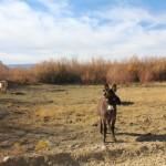 Random donkey/mule/wild ass